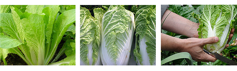 chinese_cabbage