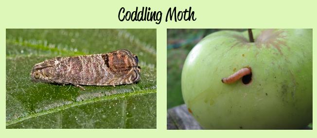 coddling_moth