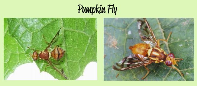 pumpkin_fly