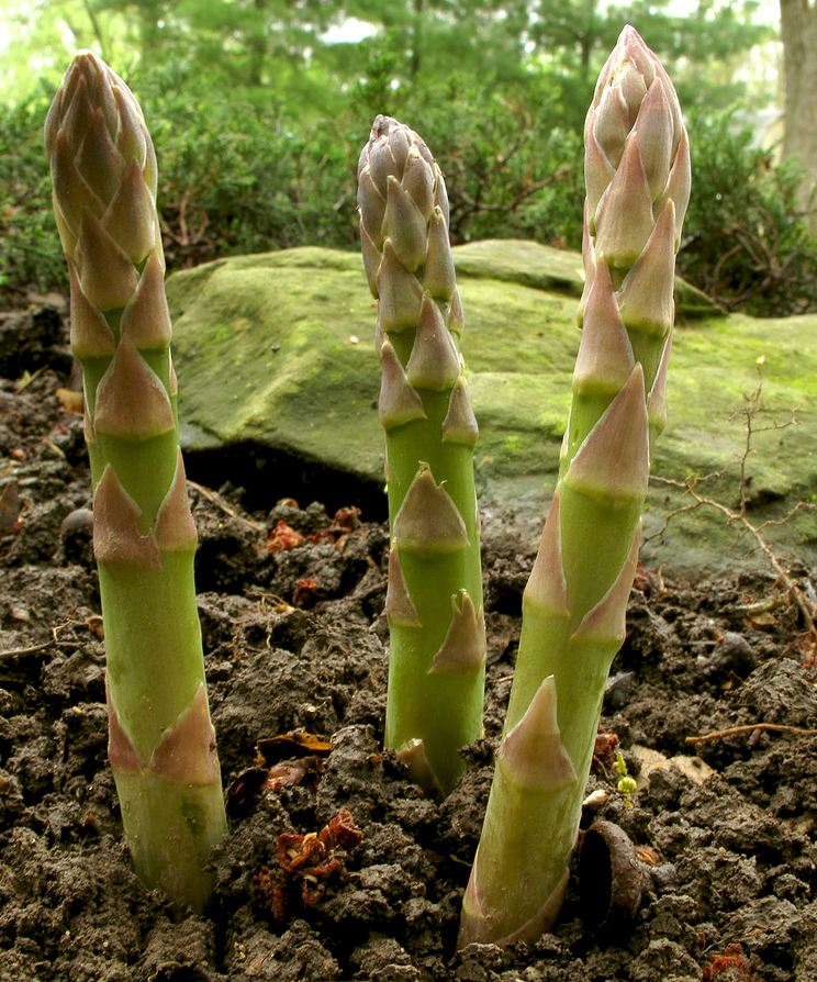Blackwood's Home of Gardening - Growing Asparagus