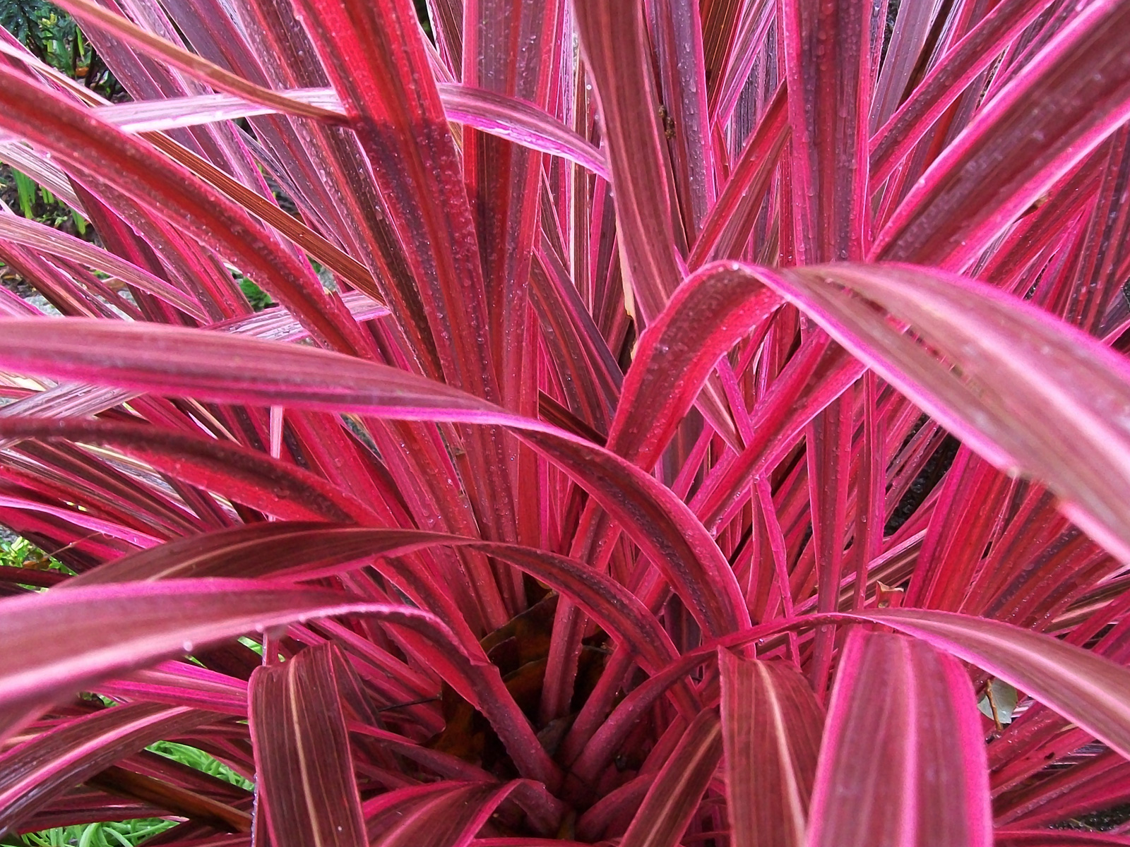 Herbs Chart Blackwoods Co Za Cordyline Electric Pink A Must Have