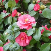 autumn_flowering_camellia