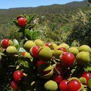 bushveld_cherry