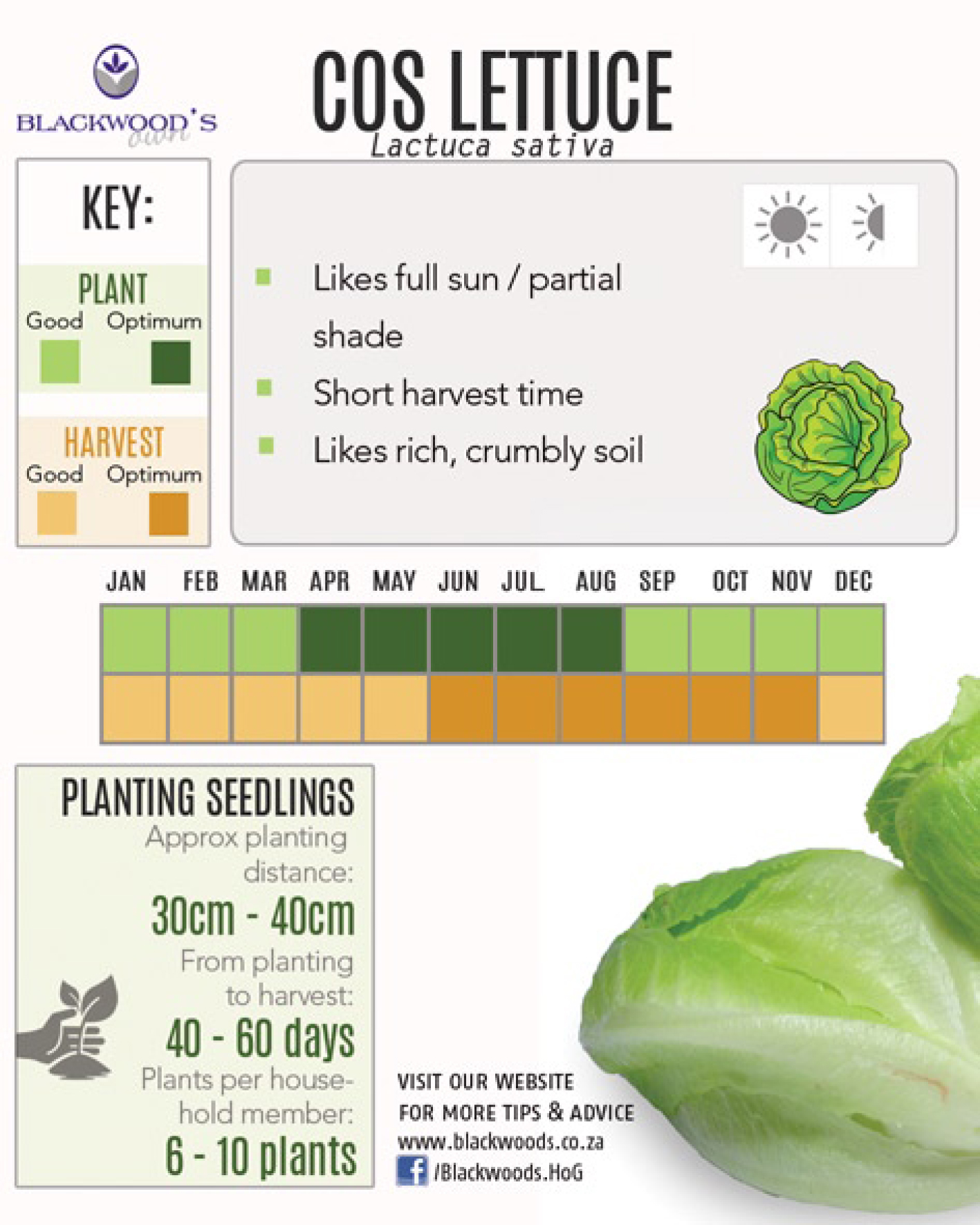how to grow cos lettuce