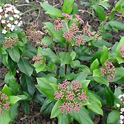 evergreen_viburnum