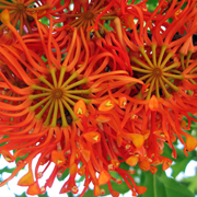 firewheel_tree