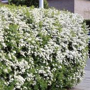 Blackwoods Co Za Plants For Hedges And Screens