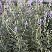 grey_toothed_lavender