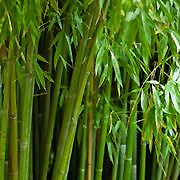 hedging_bamboo