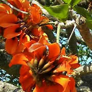 inland_coral_tree