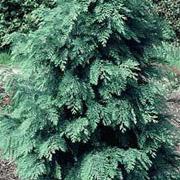 lawsons_cypress