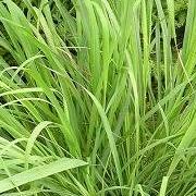 lemon_grass
