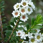 miniature_tea_bush