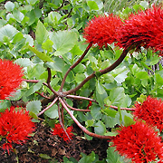 natal_bottle_brush