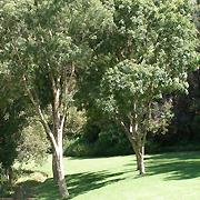 natal_lavender_tree