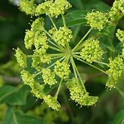 parsley_tree