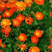 pot_marigold