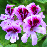rose_geranium