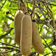 sausage_tree