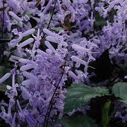 spur_flower