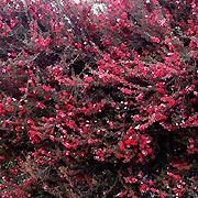 tea_bush