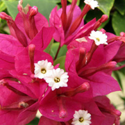 bougainvillea_buttiana_temple_fire