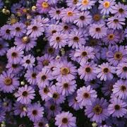 brachyscome-hybrid-brasco-violet