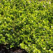 buxus_microphyll_faulkner