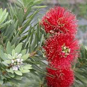 callistemon_citrinus_little_john