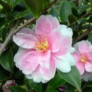 camellia_sasanqua_hybrids