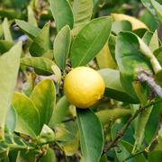 citrus_aurantiifolia