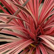 cordyline_banksii_electric_flash