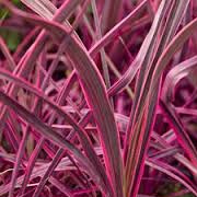 cordyline_banksii_electric_pink