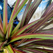 cordyline_banksii_electric_star