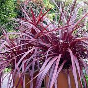cordyline_banksii_red_fountain