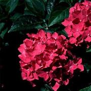 hydrangea_macrophylla_winning_edge