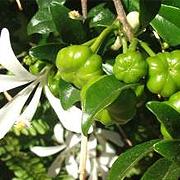 turraea_obtusifolia