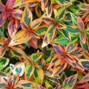 Abelia-x-grandiflora-'Kaleidoscope'