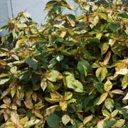 Acalypha-wilkesiana-hybrids-and-cultivars