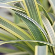Agapanthus-africanus-'Summer-Gold'