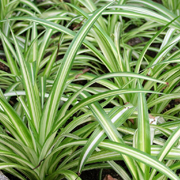 Chlorophytum-comosum-'Vittatum'