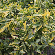 Citrofortunella-microcarpa-'Variegata'