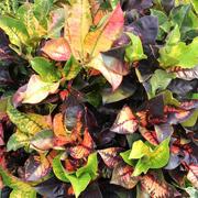 Codiaeum-variegatum-hybrids-and-cultivars