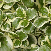Coprosma-repens-'Marble-Chips'