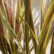 Cordyline-banksii--'Electric-Star'
