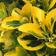 Euonymous-japonicus-'Aureomarginatus'