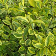 Ligustrum-ovalifolium-'Aureum'