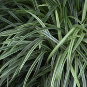 Ophiopogon-jaburan-'Vittatus'