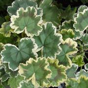 Pelargonium-zonale-'Mrs-Pollock'