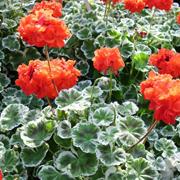Pelargonium-zonale-'Wilhelm-Languth'